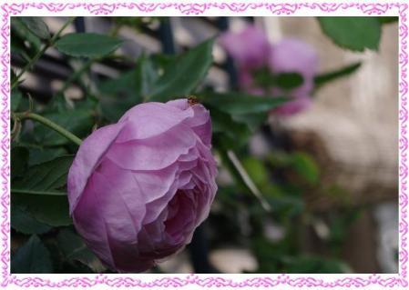 rose507 007