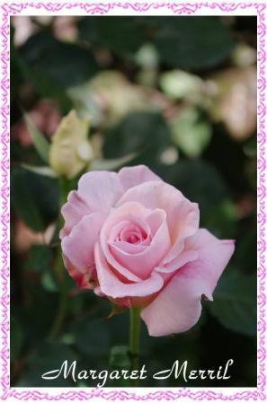 rose507 024