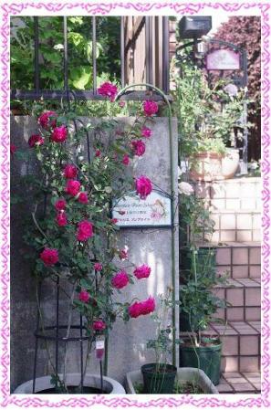 rose507 020