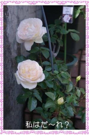 rose507 018