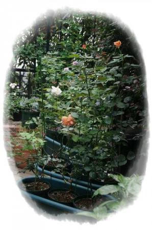 rose721 093