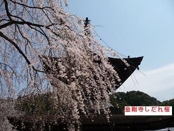 しだれ桜P1030220金剛寺