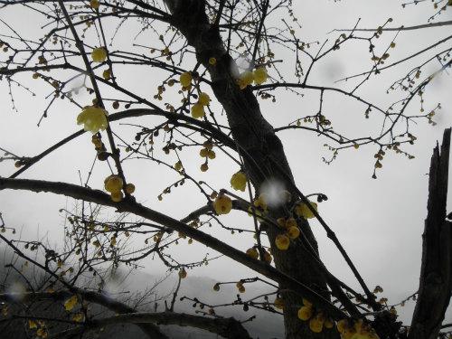 ソシンロウバイ 初春の花木と言われています。