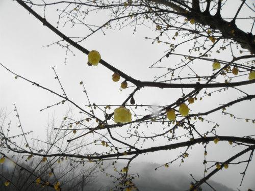 雨の中のソシンロウバイ