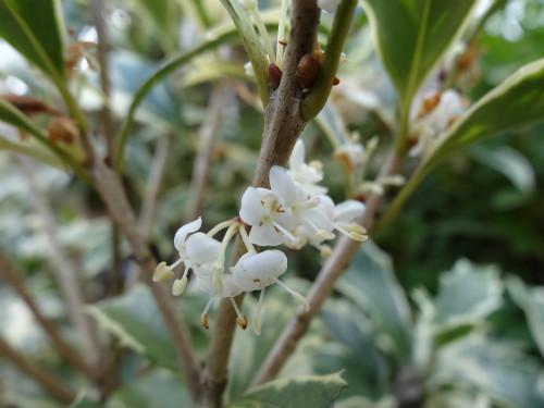 斑入りヒイラギの花