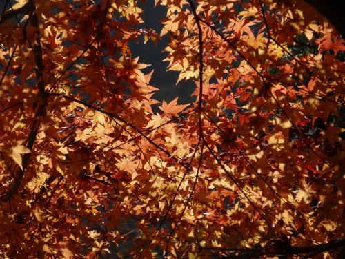 落葉間近の美しい紅葉をパチリ!