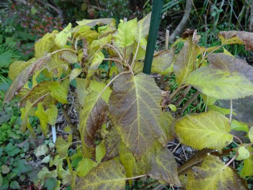 黄葉のアナベル