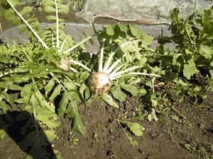 20111114家庭菜園1
