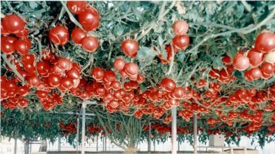 suihei-tomato520w_20120328150926.jpg