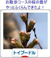 いつも遅いんだよね、ここの桜