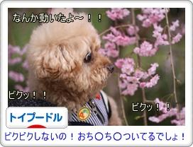 桜が揺れてもビビるお年頃♪