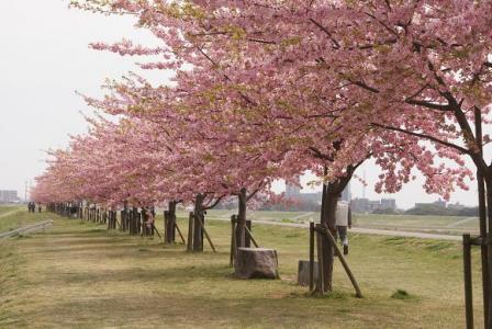 江戸川堤に並ぶ河津桜