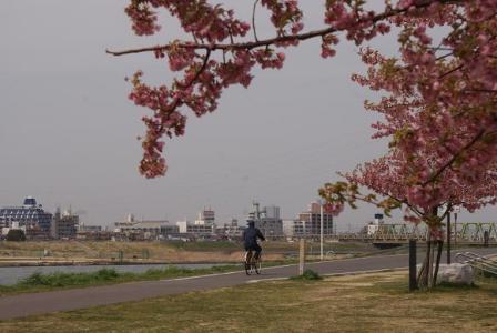 河津桜とJR鉄橋