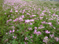 120px-Wide_Chinese_milk_vetch_field-_Japan.png