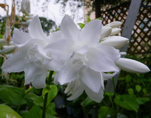 タマノカンザシ913