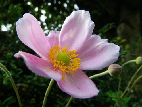 シュウメイ菊ピンク
