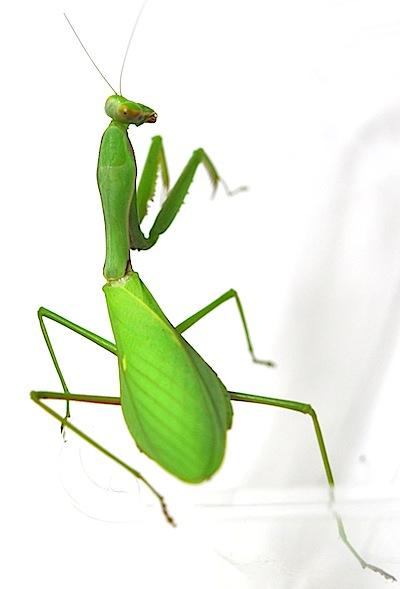 ムネアカハラビロカマキリのメス