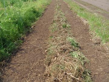 タカキビ蒔き