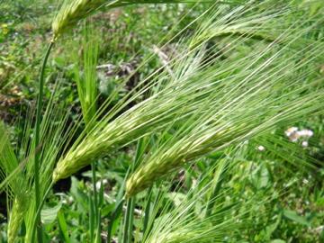 もち麦の穂