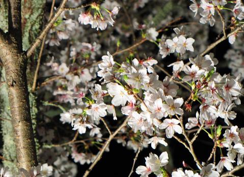 長瀞の桜ライトアップ