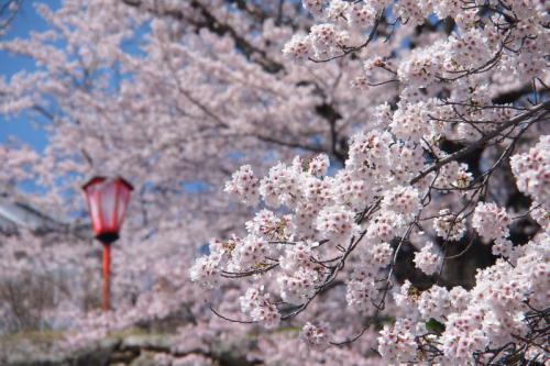tsuyama_sakura2.jpg