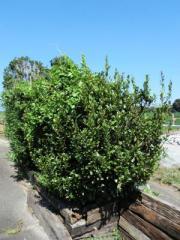 植木1_convert_20110929191951