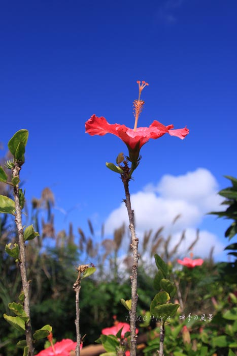 石垣島 11月のハイビスカス
