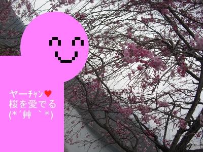 2013_3_29_Cherry_blossom02_ya.jpg