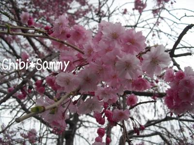 2013_3_29_Cherry_blossom03.jpg