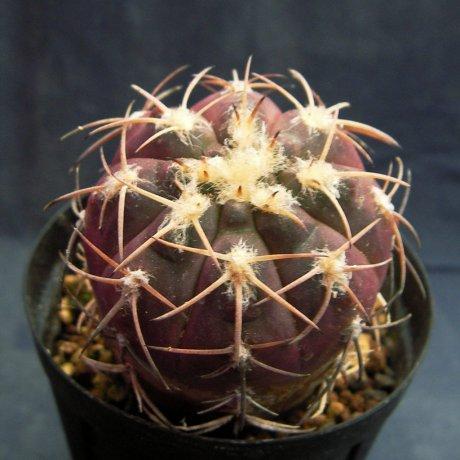 Sany0145--spegazzinii v punillense---VS 79--Mesa seed 489.72