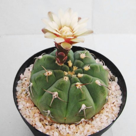 Sany0113--bayrianum--Amerhauser seed--ex Tutiya