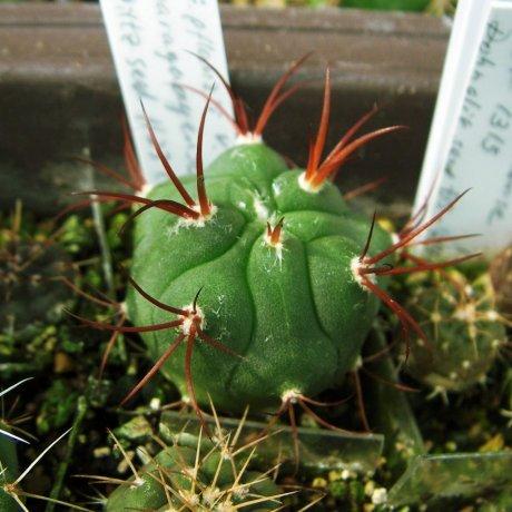 Sany0155--pflanzzii v paraguayense--Pilcomayo Praguay--piltz seed 1123