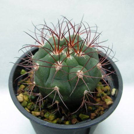 Sany0113--pflanzii ssp dorisiae--STO 1004--Rio Paichu Tarija Bolivia 2300m--Amerhauser sed (2009)