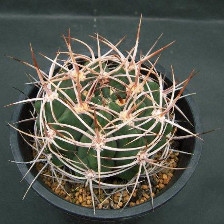 Sany0048--ferox--STO 92-498-1--W of Las Charas Cordoba--ex Eden 14476 (2007)