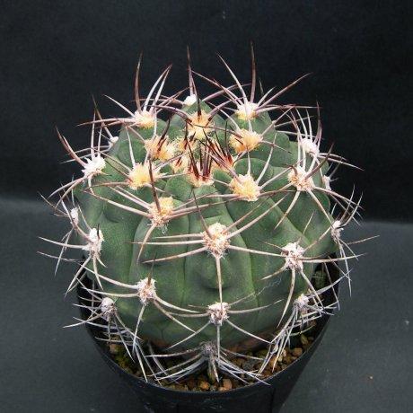 Sany0099--nigriareolatum--LB 1235--R1 10km Nof Las Pilquitas Catamarca--ex Eden 14393(2008)