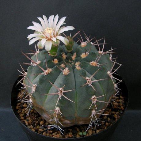 Sany0007--nigriareolatum var--P 130--Cuesta de Poltezuelo Catamarca--Piltz seed
