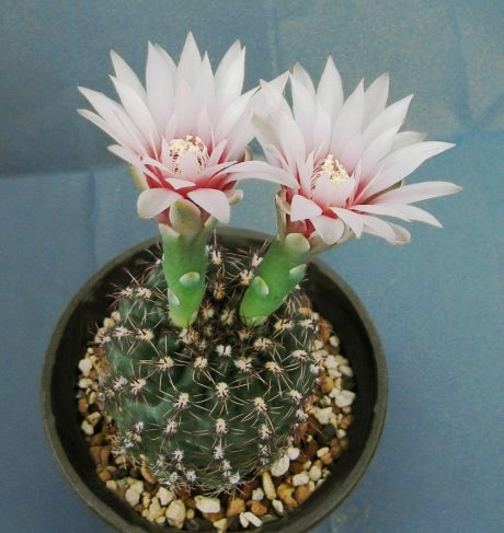 Sany0039-G. erinaceum f. --WP 108-143--Piltz seed 4043-Milena