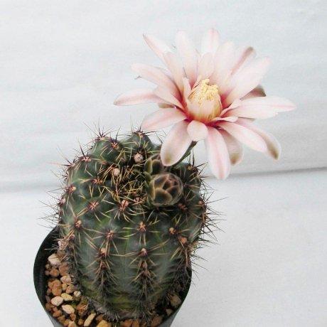Sany0009--erinaceum--Mesa seed 464.04