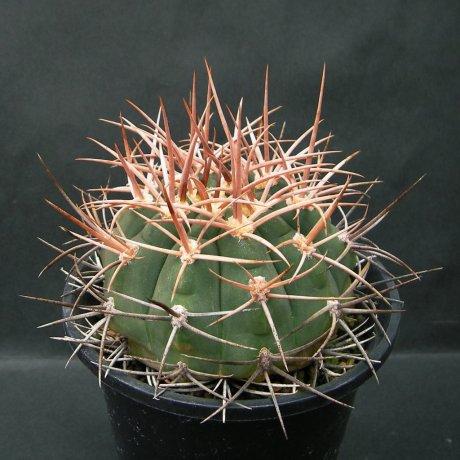 Sany0166--mazanense v polycepharum--P 223--Piltz seed 4310