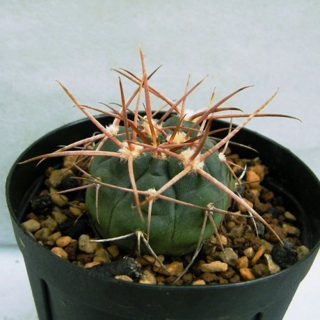 Sany0097a--mazanense v polycepharum--SL 23A--Bercht seed 2436(2010)
