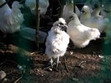 換羽の烏骨鶏1