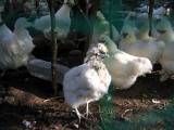 換羽の烏骨鶏2