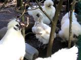 換羽の烏骨鶏3