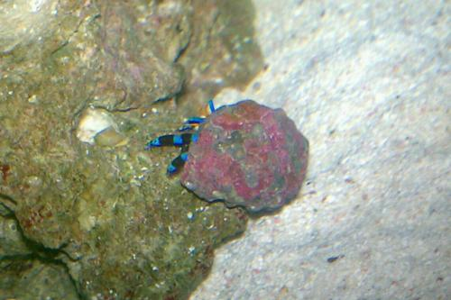 ユビワサンゴ_20111028