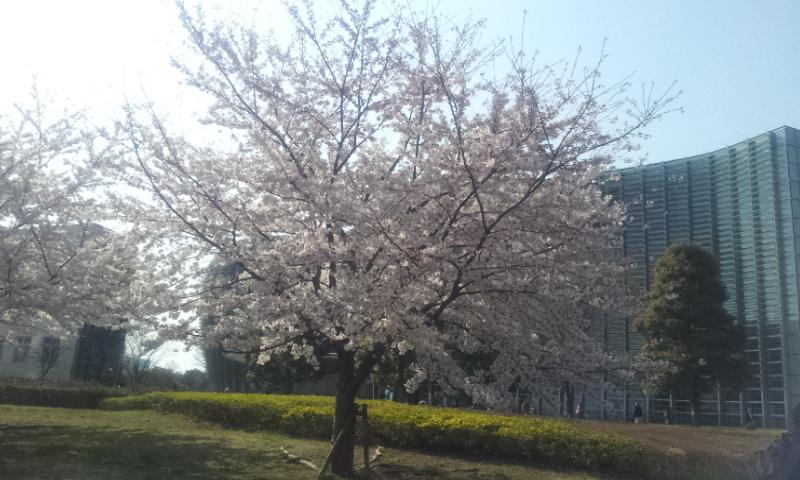 新国立博物館桜