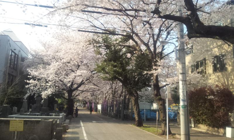 寛永寺ウラ桜