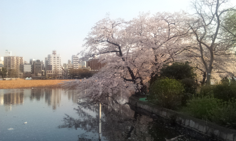 上野忍池はす池側