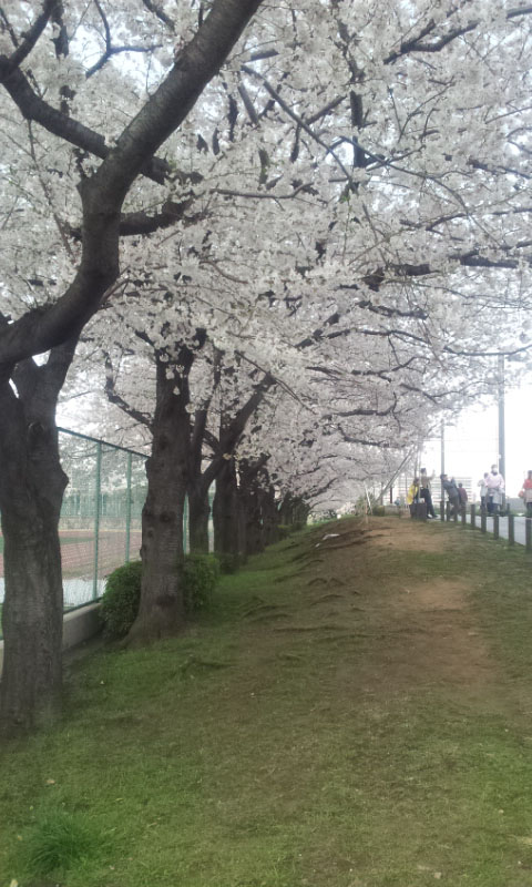 隅田川沿い桜道