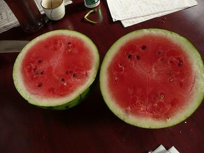 交配34日後のボカシ肥料有りの直播き西瓜を切ってみた