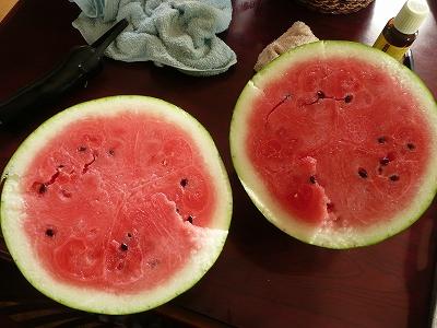 交配36日後のボカシ肥料有りの直播き西瓜を切ってみた
